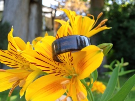 Dark Walnut ring with two bands of Lava rock